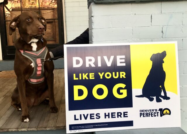 a brown medium-size dog wearing a pink harness sits in front of a yellow and blue Drive Like Your Dog Lives Here yard sign
