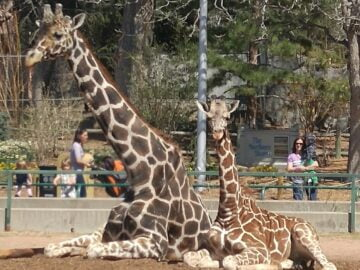 Dikembe and Dobby, mother and baby giraffes at the Denver Zoo