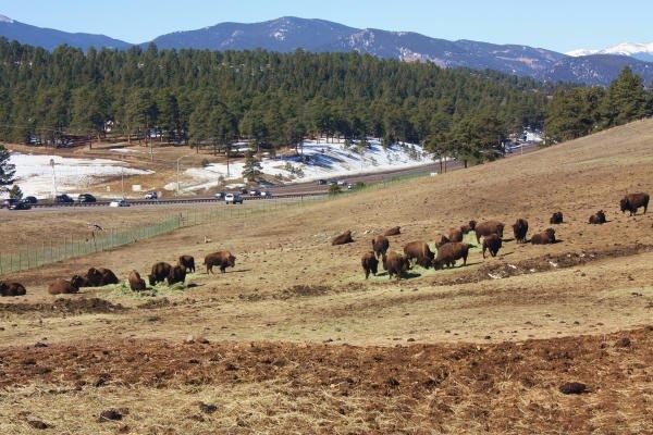 Denver Mountain Parks bison herd